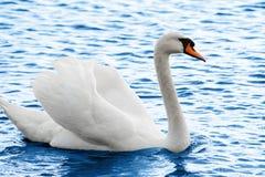 Ali di diffusione del cigno sul lago Immagini Stock