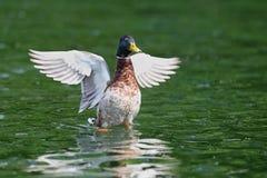 Ali di diffusione del germano reale maschio su acqua Fotografia Stock