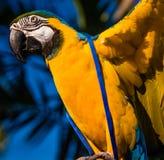 Ali di diffusione del pappagallo variopinto dell'ara fotografia stock
