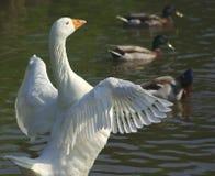 Ali di diffusione dell'oca bianca Fotografie Stock