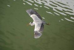 Ali di diffusione dell'uccello dell'airone Fotografia Stock