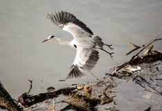 Ali di diffusione dell'uccello dell'airone Immagini Stock