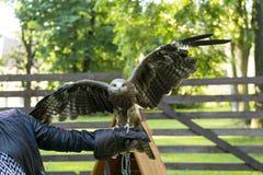 Ali di diffusione dell'uccello predatore che si siedono sul braccio di un uomo, eagl fotografia stock libera da diritti