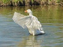 Ali di sbattimento dell'oca nel fiume Fotografie Stock