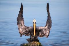 Ali di sbattimento dell'uccello del pellicano fotografia stock libera da diritti