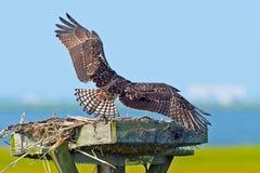 Ali giovanili del Osprey Fotografia Stock