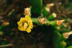 Alianças de casamento em flores de florescência de um amarelo do cacto Jewe do casamento Imagem de Stock Royalty Free