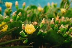 Alianças de casamento em flores de florescência de um amarelo do cacto Jewe do casamento Fotografia de Stock