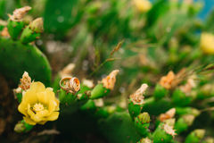 Alianças de casamento em flores de florescência de um amarelo do cacto Jewe do casamento Imagem de Stock