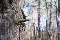 Alianças de casamento em uma casca de árvore Fotografia de Stock