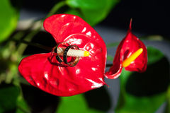 Alianças de casamento no pistilo do vermelho da flor Dois Imagem de Stock