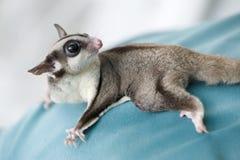 Aliante dello zucchero o dell'opossum fotografia stock libera da diritti