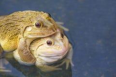 Alias sitzt der gemeine Wasser-Frosch, auf Holz Essbare Frösche sind Kreuzungen von Poolfröschen und von Sumpffröschen Lizenzfreie Stockfotos