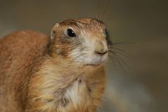 Cute Groundhog portrait. Alicante, Spain - July 24 2012: Portrait of a cute Groundhog rodent royalty free stock photos