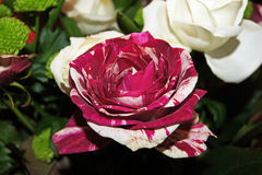Alice's rose. Colorful rose looks like rose from story of ``Alice`s Adventures in Wonderland Stock Photography
