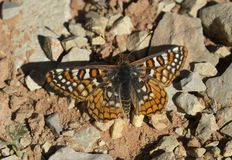 Alicia Checkerspot Butterfly stock fotografie