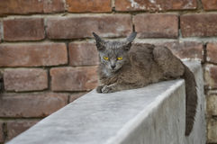 Alien cat with sad eyes sitting on a parapet against brick wall. Beautiful alien cat with sad eyes sitting on a parapet against brick wall Stock Images