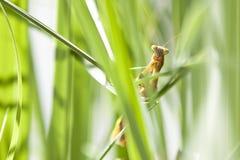 Alien-Faced Praying Mantis  Amongst Grass Stock Images