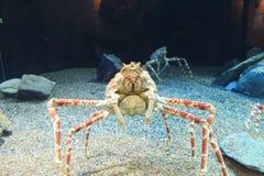 Lanky crabs Stock Photos