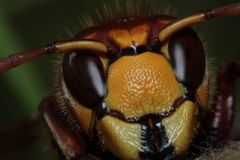 Alien. Macro photography of Hornet (Vespa Crabro Royalty Free Stock Photography