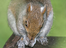 Alien Squirrel. Close Up of Squirrel high detail - selective focus royalty free stock photography