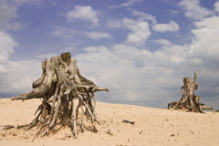 Alien tree trunks. Tree trunks , sand has blown away reveiling there roots Royalty Free Stock Image