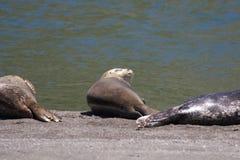 Alifornia Foki są na usta Rosyjska rzeka Fotografia Royalty Free