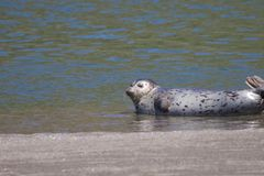Alifornia. Seals are on the mouth of the Russian River Stock Photo