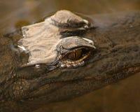 Aligatorów oczy Obraz Stock