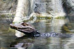 Aligatorów potomstw Pływać Zdjęcia Royalty Free