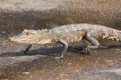 aligatorów potomstwa Zdjęcie Stock
