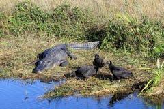 aligatorów sępy Obrazy Royalty Free