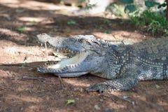 Aligator开放嘴和掠食性动物 库存照片