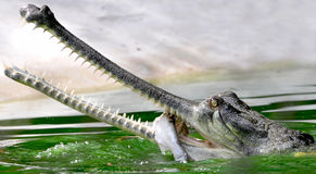 aligator Photo stock