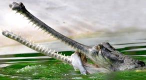 aligator Arkivfoto