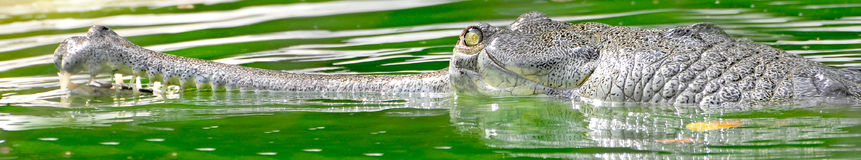 aligator Photographie stock