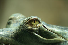 Aligator Royalty Free Stock Photography