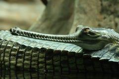 aligator arkivfoton