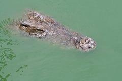 aligator Royaltyfria Bilder