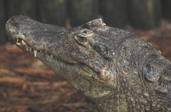 Aligator Royalty Free Stock Photo