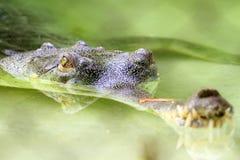 Aligator Fotos de archivo