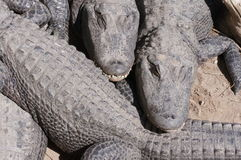 Aligator 库存图片