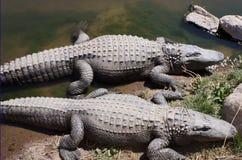 Aligator zdjęcie stock