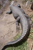 Aligator zdjęcia royalty free