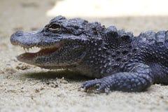Aligator 1 Zdjęcie Stock