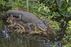 aligator Obrazy Royalty Free