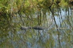 aligator Fotografia Royalty Free