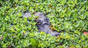 Aligator 免版税库存图片