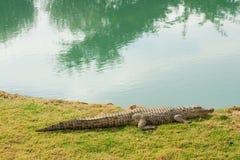 Aligator al lado de la charca fotos de archivo libres de regalías