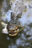 Aligator. Alligators fed chickens at the zoo in the city of Solo, Central Java, Indonesia royalty free stock photos